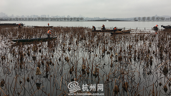 杭州西湖新年残荷第一波