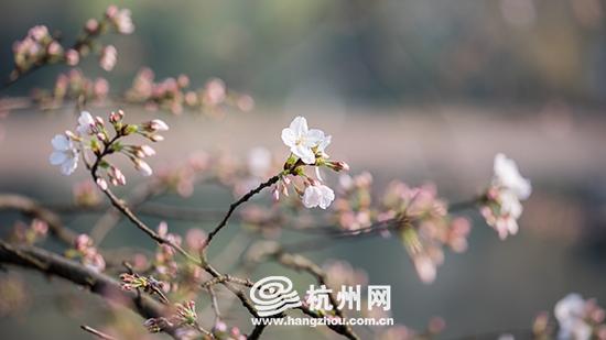 杭州太子湾公园染井吉野