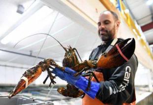 美国龙虾业期待重返中国