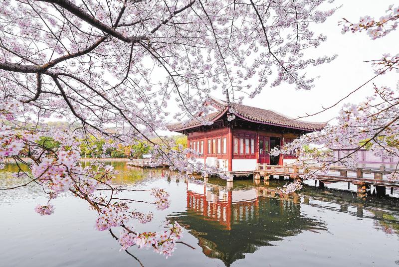杭州西湖曲院风荷樱花烂